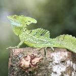 Green Basilisk at Caño Negro