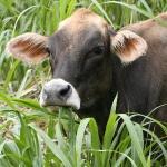 Wet cow?