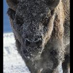 Bison in frost