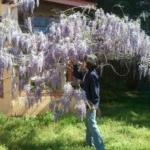 Wisteria in Spring at Basic Necessities