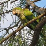 One of the Quaker parrots (also called monk parakeets) that live wild in the park.
