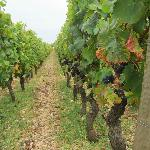 Some vines on the tour.