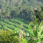 rice fields near aditya