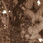 frangipani beach tree