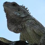 happy iguanas