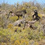 baboons safari
