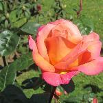 Hermosas rosas en el jardín