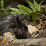 Take a night walk to discover kiwi in the wild