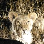 Lions Cubs on Night Game Drive