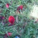 flor del ceibo