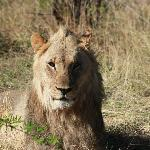 young male lion strolled 4 feet away from the vehicle