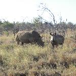thanks to poachers, not too many rhinos left