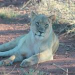 Pregnant lioness resting in the shade