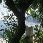 Uno de los olivos en nuestro jardin