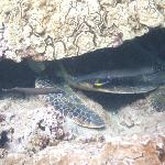 Trumpetfish pretending to be Turtle fins