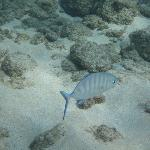 JuvenileBluefin Trevally...I think