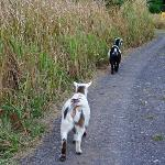 I love goats! Here are Romeo and Julia heading home to their house.