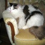 Max the Inn's ragdoll cat mascot