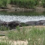 Hippopotames au parc Kruger