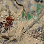 Leafcutter ant at TBR