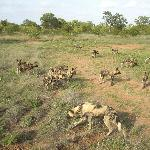 Wild dogs with young