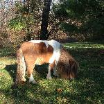 Rusty the mini-horse