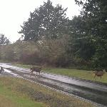 Deer in Ocean Shores