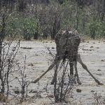 giraffe - eating? no water