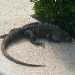 Iguana chilling by the pool