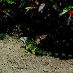 Colorful iguana outside the hotel
