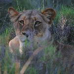 lioness seen on our very first outing!