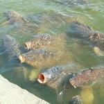 鯉がウヨウヨ