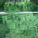 A pair of European Beavers on Loch Linne near Achnamara