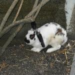 One of the resident rabbits