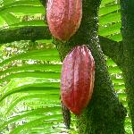 2 cocoa beans in the garden