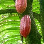 2 cocoa beans in the garden