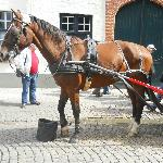 One of the fine looking horses that trot round the streets of Bruges