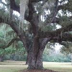One of the many great Oak trees