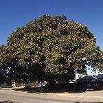 The Famous Burke & Wills Morton Bay Fig Tree - the largest in the Southern Hemisphere!
