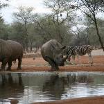 Rhino's at water holes