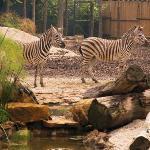 Cebras del Zoológico de Medellín