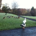 Ducks having breakfast