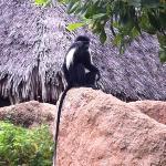 le scimmie nel villaggio