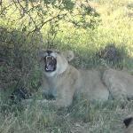 Tired lion cub