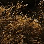 Golden Wheat at Sunset at Myriad Gardens Outside Section
