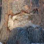 beaver damage.