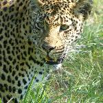 One of the Londolozi Leopards