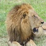 One of th eLondolozi lions