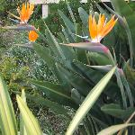 Birds of Paradise seen on stroll to beach