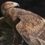 Yarak Bird of Prey